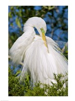 Great Egret - photo Framed Print