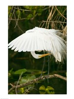 Close-up of a Great White Egret Fine Art Print