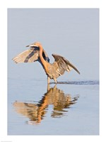 Reflection of Reddish Egret in Water Fine Art Print
