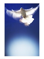 White Dove in flight - blue Fine Art Print