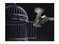 White Dove escaping from a birdcage Fine Art Print