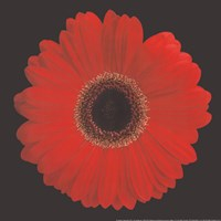 Gerbera Daisy Red Framed Print