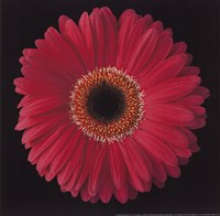 Gerbera Daisy Pink Framed Print