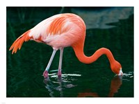 Pink Flamingo In River Fine Art Print