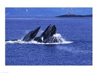 Humpback Whales in Alaska, USA Fine Art Print