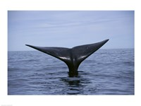 Southern Right Whale Argentina Fine Art Print