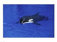 Killer Whale Fine Art Print