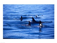 Pod of Killer Whales swimming in the Sea Framed Print
