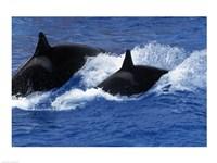 Killer Whales Fine Art Print