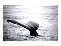 Humpback Whale Black and White Tail Framed Print