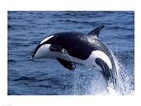 Killer Whale Orcinus Orca Atlantic Ocean Framed Print