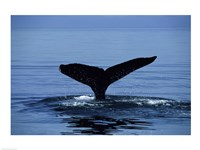 Humpback Whale Tail Fine Art Print