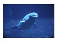 Beluga Whale Underwater Fine Art Print