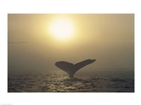 Humpback Whale Tail at Sunset Fine Art Print