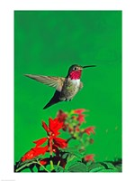 Broad-Tailed hummingbird hovering over flowers, Arizona, USA Fine Art Print