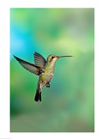 Close-up of a Broad-Billed hummingbird, Arizona, USA Fine Art Print
