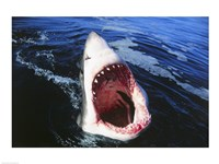 Great White Shark with its mouth open Fine Art Print