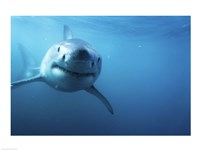 Great White Shark Swimming Fine Art Print