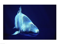 Shark Great White Fine Art Print
