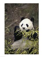 Giant Panda Fine Art Print