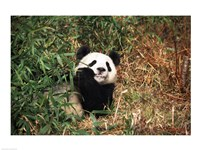 Giant panda (Ailuropoda melanoleuca) resting in a forest Fine Art Print