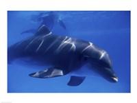 Bottle-Nosed Dolphin Underwater Fine Art Print