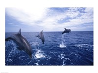 Bottle-Nosed Dolphins Leaping Fine Art Print