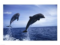 Two Bottle-nosed Dolphins jumping out of the water Fine Art Print