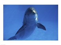 Bottle Nosed Dolphin in Ocean Fine Art Print