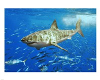 White Shark Framed Print