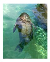 Hawaiian Monk Seal Fine Art Print