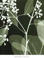 Eucalyptus Buds II Framed Print