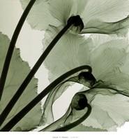 Cyclamen Fine Art Print