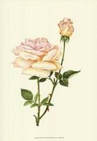 Victorian Rose IV Framed Print