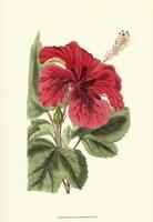 Antique Hibiscus I Fine Art Print