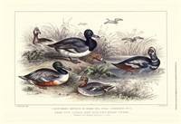 Duck Varieties Fine Art Print