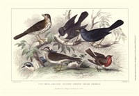 Skylark, Song Thrush, & Red Breast Fine Art Print