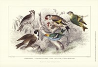 Gold Finch, Buntings, & Wrens Fine Art Print
