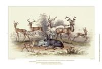 Antelope Varieties Fine Art Print