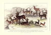 Deer Varieties Framed Print