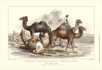 Arabian Camels Framed Print