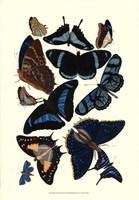 Blue Butterfly Study Framed Print