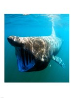Basking Shark Fine Art Print
