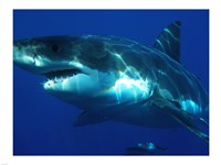 Carcharodon Carcharias Fine Art Print