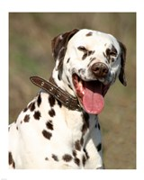 Dalmatian Portrait Fine Art Print