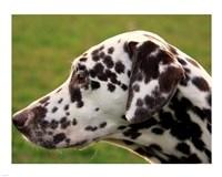 Dalmatian Profile Fine Art Print