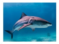 Tiger Shark Fine Art Print