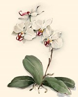 Phalaenopsis Red Throat Orchid Fine Art Print
