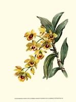 Dendrobium Orchid Fine Art Print