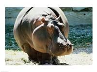Close-up of a Hippopotamus Fine Art Print